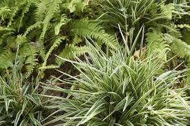Best Plants For No Sunlight Can Spider Plants Be Outdoors U2013 Tips On Growing Spider Plants Outside
