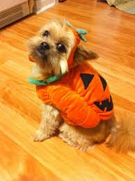Halloween Costumes Yorkies 10 Cutest Animal Halloween Costumes Spin1038