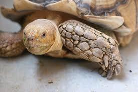 Tortoise Bedding Tips Interesting Sulcata Tortoise Habitat For Outdoor Pet House