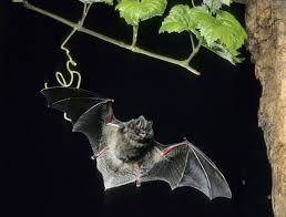 As Blind As A Bat Meaning 116 Best Bats With Their Baby Veined Faces Images On Pinterest