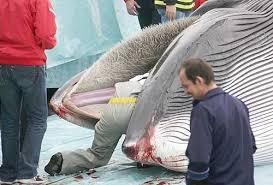 sedere di uomo in culo alla balena nonciclopedia fandom powered by wikia
