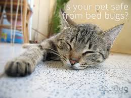 Bed Bug Nest Pictures Bed Bugs And Cats What To Do And Why