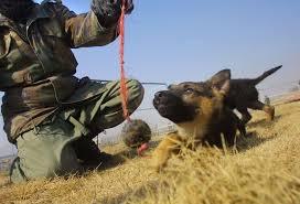 belgian shepherd special forces belgian malinois or german shepherd dog steals the spotlight from