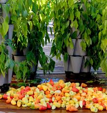 10 Tips For Growing Peppers by All About Growing Peppers Vertically Greenstalk