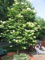 japanese lilac trees