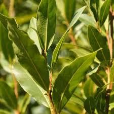 laurier cuisine laurier sauce taille entretien et utilisation des feuilles