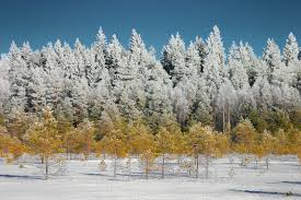 image covered tree tops in a winter forest stock photo by