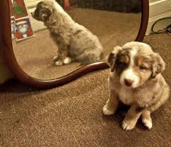 australian shepherd 6 weeks old 54 best magic the mystery dog images on pinterest magic animals