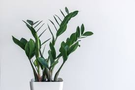 Best Plants For Bathrooms Plant For Zamioculcas Zamifolia The Eternity Plant Is Surely Named