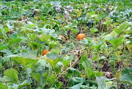 checking up on the pumpkin patch the martha stewart blog