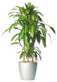 Low Light Indoor Trees 5 Great Indoor Plants That You Wont Kill Feng Shui Plants And