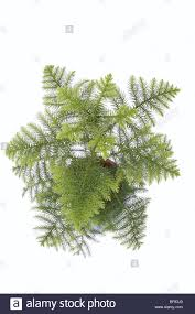 norfolk island pine tree conifer stock photos u0026 norfolk island