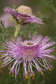 68 best purple flowers images on pinterest nature plants and