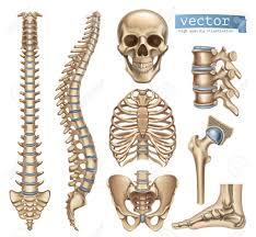 human skeleton structure skull spine rib cage pelvis joints