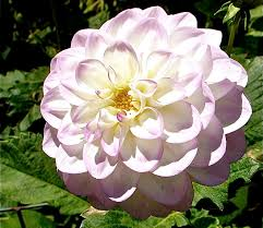 blooming plants blooming plants spectacular photos of dahlias