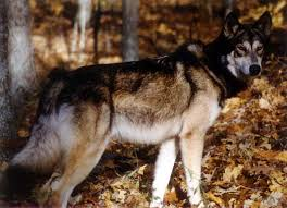 belgian shepherd wolf mix looking for mid content wolf malamute cross breeders topics on