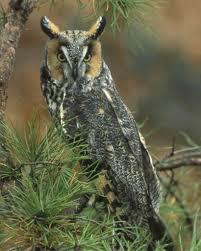 long eared owl audubon field guide