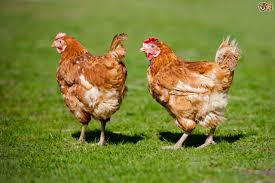 what to feed backyard chickens can you feed human food and kitchen scraps to chickens pets4homes
