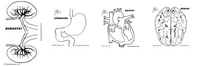 Anatomy Of Human Heart Pdf Freja Lindberg Pow Pinterest Role Models And Bodies