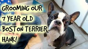 hank the boston terrier grooming day nicole collet youtube