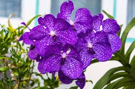 purple orchids orchid flower meaning flower meaning