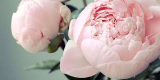 Peony Flower 9 Lessons In Growing The Perfect Peonies
