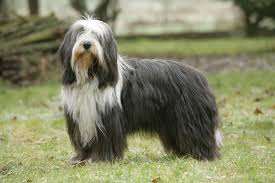 bearded collie and border collie mix bearded collie dogs and puppies for sale in the uk pets4homes