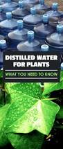 distilled water for plants what you need to know