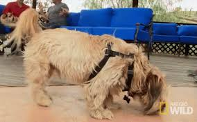 afghan hound gif happy dog gif cesar911 cesar911series shaking discover u0026 share