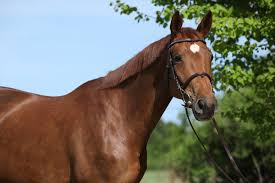 Nice Hourse Making A Living With Thoroughbred Makeovers U2013 Equestriancoach Com Blog