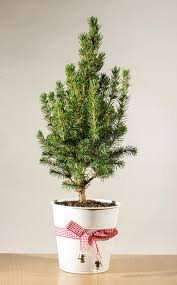 miniature potted tree on the table stock photo image of