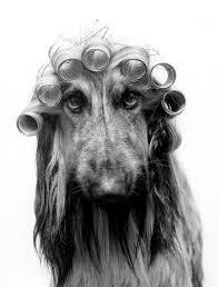afghan hound black hair afghan hound with hair curlers art print by regine will king u0026 mcgaw