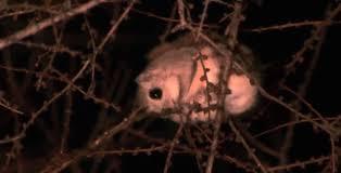 mammiferi volanti scoiattolo volante