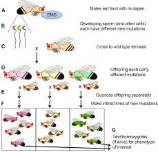 genetics on the fly a primer on the drosophila model system