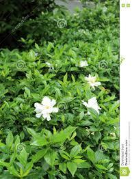 green bush in flowerbed with gardenia jasminoides cape jasmine
