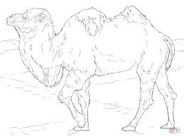 realistic bactrian camel coloring page free printable coloring pages