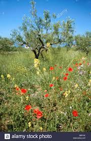 Flowers Near Me - spring flowers mani peninsula greece stock photo royalty free