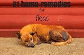 How Long Do Fleas Live In Carpet Quick Home Remedies For Fleas Grandma U0027s Full Guide
