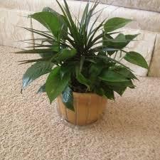 decorative indoor plants indoor plants and decorative potted plants