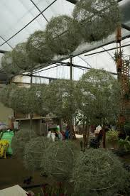 spanish moss aka usneoides are easy and portable to display and