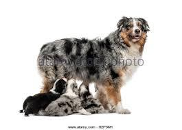 australian shepherd iq mixed australian shepherd stock photos u0026 mixed australian shepherd