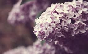 1920x1200px lilac wallpaper images for free 65 1471579543
