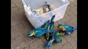 harlequin and blue and gold macaw babies for sale jakarta youtube