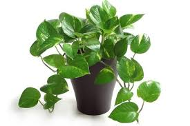 green plants money plant green plant buy plants online india