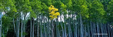 Define Tree Stand Out Aspen Trees U2022 David Balyeat Photography Portfolio
