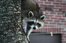 Raccoons In Backyard Raccoon Roundworm Infection Worms U0026 Germs Blog