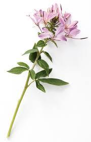 señorita rosalita spider flower cleome hybrid proven winners