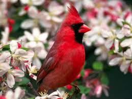 cardinal bird home decor northern cardinal normal wallpapershd pinterest cardinals