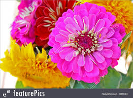 zinnia flower flowers zinnia flower stock picture i2617393 at featurepics