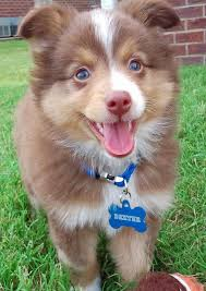 mini australian shepherd 7 weeks 20 australian shepherd puppies that are so adorable you might just